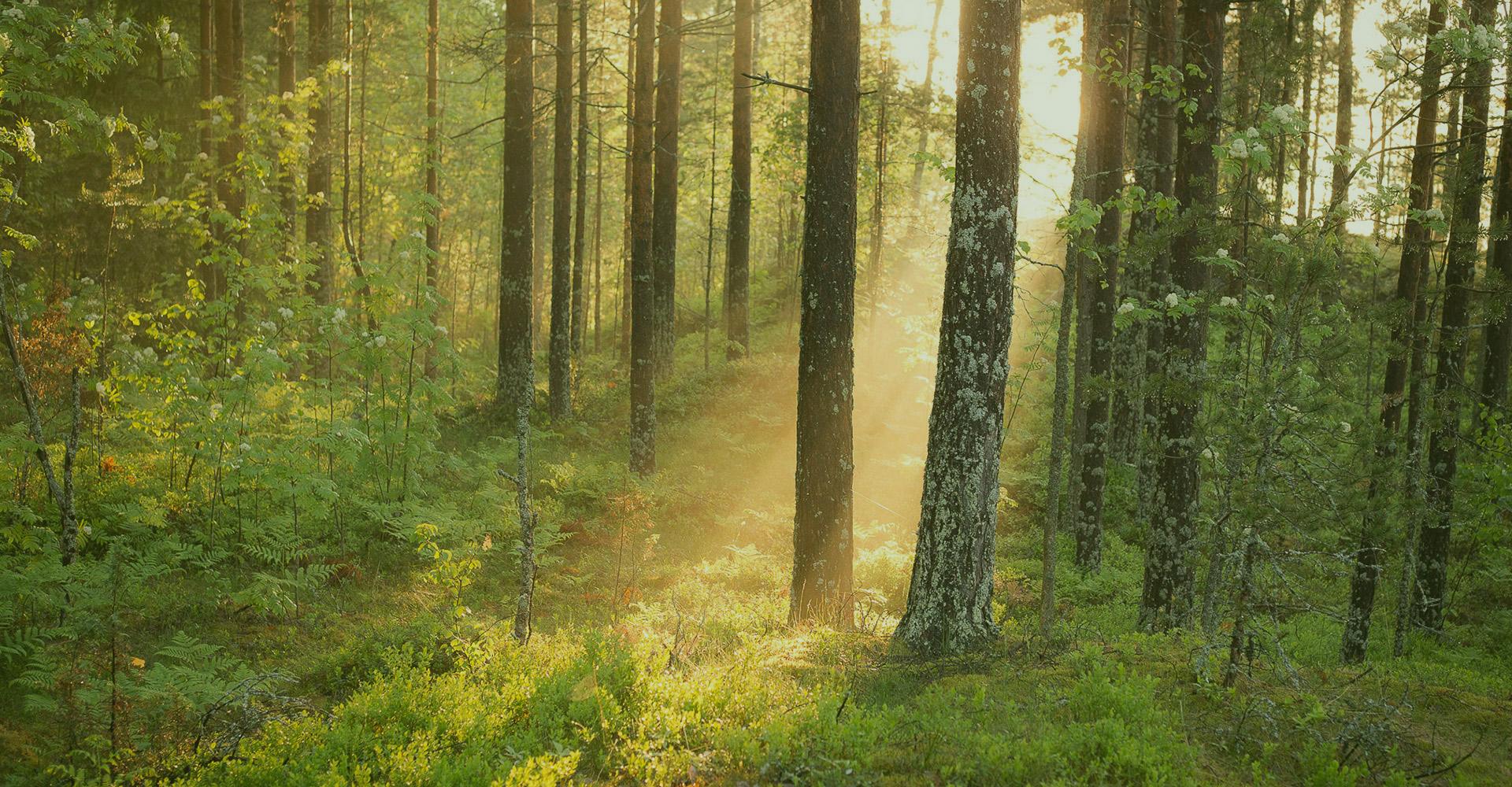 Auringonsäteet metsässä